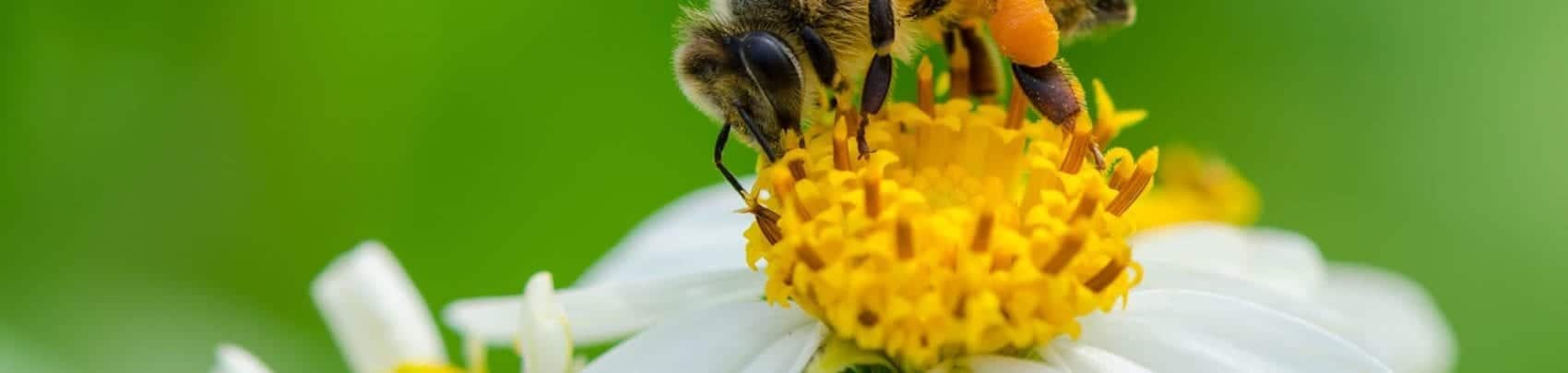 How Bee Pollen Strengthens Immunity